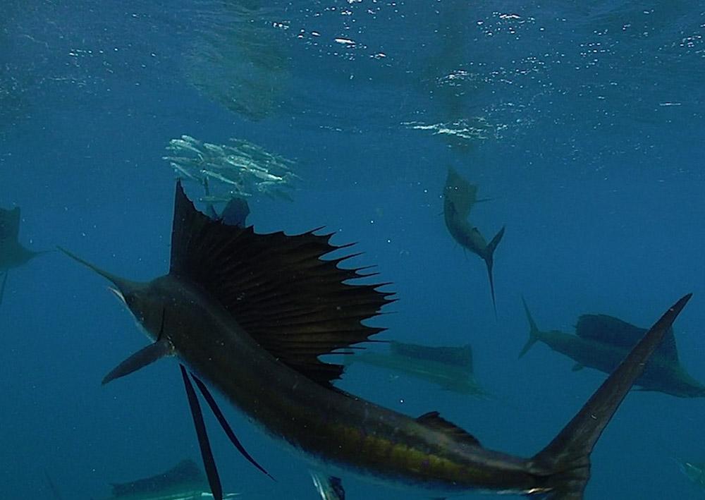 GHO Fish