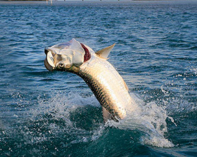 Guy Harvey Outpost Tarpon Tango