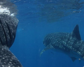Guy Harvey Outpost Whale Shark Encounter