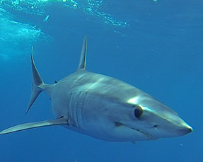 Mexico Mako Shark