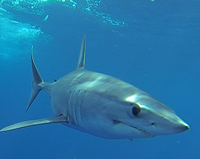 Mako Shark Encounter Mexico
