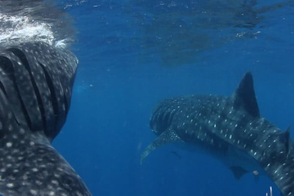 Whale Shark Expedition