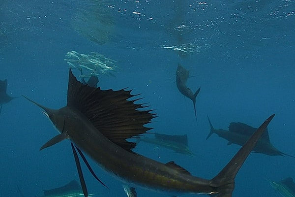Atlantic Sailfish Adventure