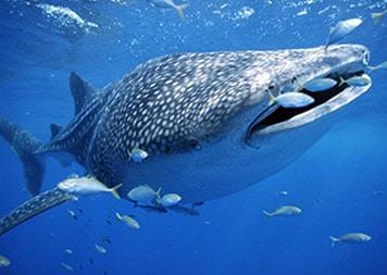 isla-mujeres-dive-whale-shark-adventures1