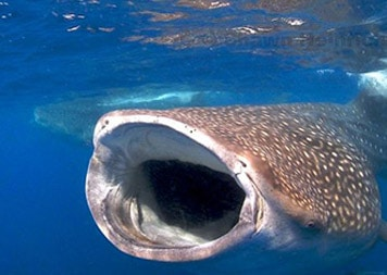 isla-mujeres-dive-whale-shark-adventures2