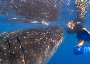 isla-mujeres-dive-whale-shark-adventures3