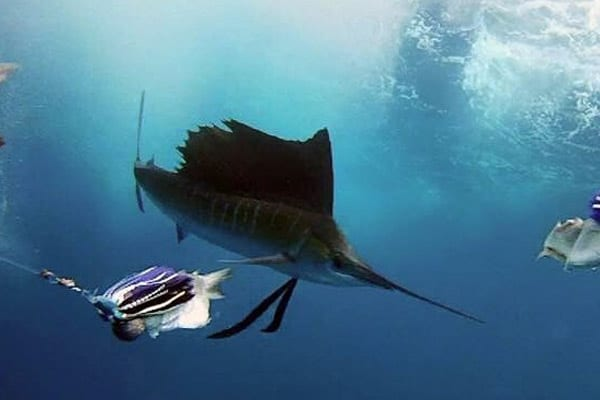 Sailfish Adventure